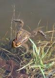 Schwimmen-Frosch Lizenzfreies Stockfoto