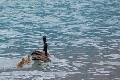 Schwimmen-Gänse stockfotos