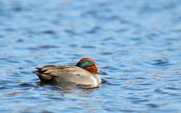 Schwimmen-männliche grüne geflügelte Knickente Stockbild