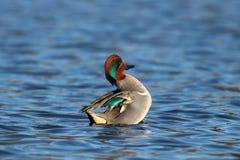 Schwimmen-männliche grüne geflügelte Knickente ungefähr zur Klappe Lizenzfreies Stockfoto