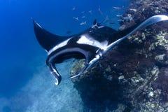 Schwimmen-Mantarochen Lizenzfreie Stockfotografie