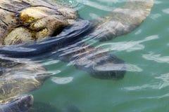 Schwimmen-Meeresschildkröte Stockbild