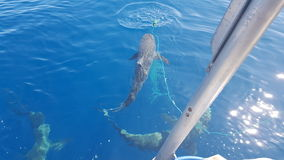 Schwimmen mit Haifischen Honolulu Hawaii Stockfotos