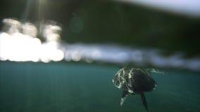 Schwimmen mit Schildkröte stock footage