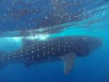 Schwimmen mit Walhaien Stockfotos