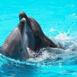 Schwimmen mit zwei Delphinen im Pool Stockfoto