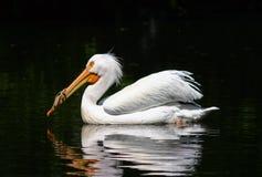 Schwimmen-Pelikan Stockfoto