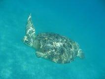 Schwimmen-Schildkröte Stockfotos