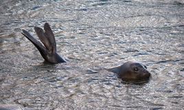 Schwimmen und Tauchen des Antarktischen Seebären in Süd-Georgia Antarctica Stockfotos