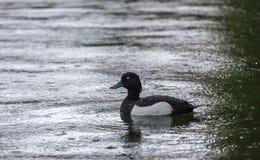 Schwimmen unter Regenente Stockfotos
