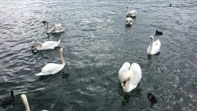 Schwimmen vieler Höckerschwäne auf dem See stock footage