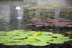 Schwimmen von 1 schöner hellpurpurner Lotosblume im Teich mit den Felsen aus den Grund Lizenzfreies Stockbild