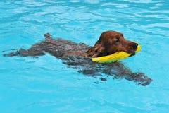 Schwimmencockerspaniel Lizenzfreie Stockfotografie