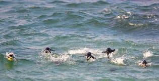 Schwimmende afrikanische Pinguine Stockbilder