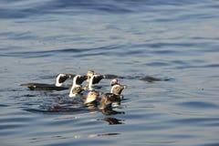 Schwimmende afrikanische Pinguine (Spheniscus demersus) Lizenzfreies Stockfoto