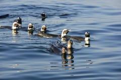 Schwimmende afrikanische Pinguine (Spheniscus demersus) Stockbild