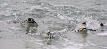 Schwimmende afrikanische Pinguine (Spheniscus demersus) Stockfotos
