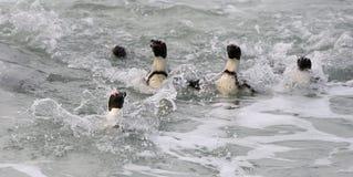 Schwimmende afrikanische Pinguine (Spheniscus demersus) Lizenzfreie Stockbilder