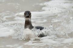 Schwimmende afrikanische Pinguine (Spheniscus demersus) Lizenzfreie Stockfotografie