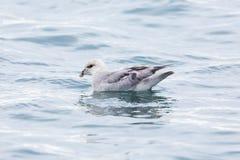 Schwimmende arktische Eissturmvogel Fulmarus Nordglacialis, Wasserbrandung Lizenzfreies Stockbild