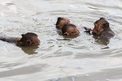 Schwimmende Baby mokeys Stockfoto