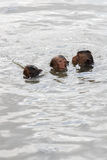 Schwimmende Baby mokeys Stockfotografie