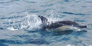 Schwimmende Delphine stockbilder