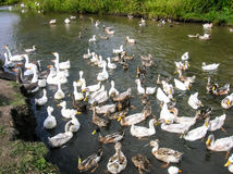 Schwimmende Enten Stockbild