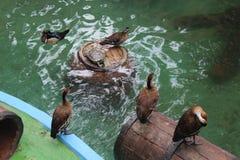 Schwimmende Enten Lizenzfreies Stockbild