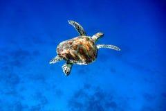 Schwimmende grünes Seeschildkröte Stockbild