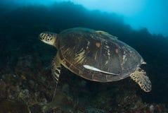 Schwimmende grünes Seeschildkröte Stockfotografie