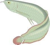 Schwimmende Illustration Arowana lizenzfreie abbildung