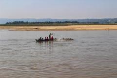 Schwimmende Kühe werden über dem Irrawaddy-Fluss auf Myanmar in Herden gelebt stockbilder