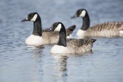Schwimmende kanadische Gans drei Stockfoto