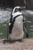 Schwimmende Pinguine Stockfoto