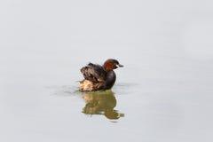 Schwimmende, pluming und spla Zwergtaucher Tachybaptus-ruficollis Stockfotografie
