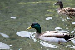 Schwimmende Stockenten-Anekdoten platyrhynchos Lizenzfreies Stockbild