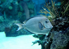 Schwimmende tropische Fische Lizenzfreies Stockbild