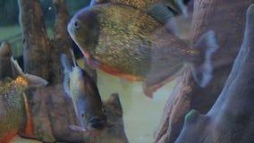 Schwimmende und essende Piranhas stock video