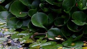 Schwimmende und versteckende beringte Schlange stock footage