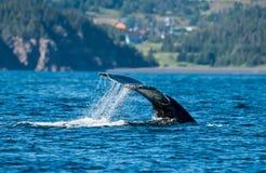 Schwimmende Wale stockfoto