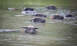 Schwimmende Wasserbüffel stockbilder