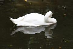 Schwimmende weiße Gans und seine Reflexion im Wasser Stockfoto