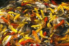 Schwimmender bunter Karpfen im Teich Stockfoto