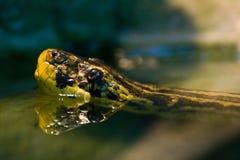 Schwimmender gelber Anaconda stockbild