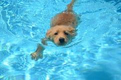 Schwimmender goldener Welpe in einem Pool stockbilder