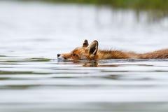 Schwimmender roter Fuchs Stockfotografie
