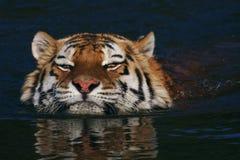 Schwimmender sibirischer Tiger Lizenzfreie Stockfotografie