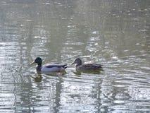 Schwimmenenten Lizenzfreies Stockbild