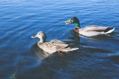 Schwimmenenten Lizenzfreie Stockbilder